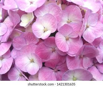 close up of pink Hydrangea flowers in garden.