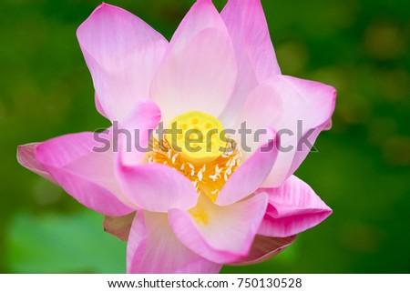 Close pink lotus flower garden buddhist stock photo edit now close up pink lotus flower in garden in buddhist symbolism the lotus is symbolic of mightylinksfo