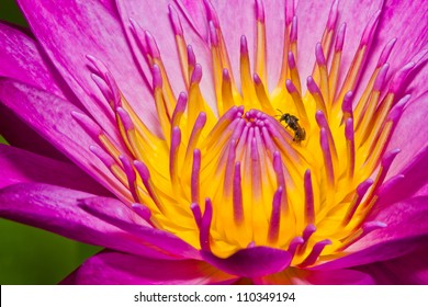Close up of pink lotus flower with little bee in a pond