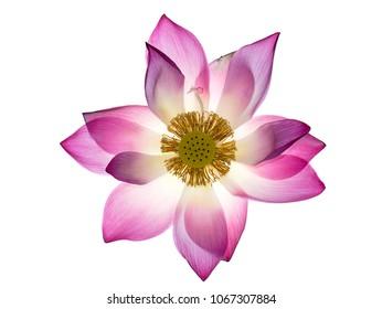 Close up pink lotus flower (Nelumbo nucifera) on white background