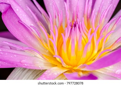 Close up pink lotus and rain drops, soft focus flower