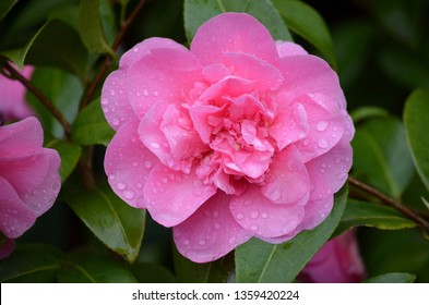 Close up of pink magenta Camelia flower in a garden with water drops on petals