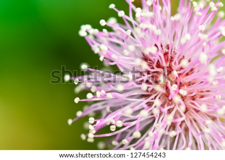 Close pink mimosa pudica flower stock photo edit now 127454243 close up of pink mimosa pudica flower mightylinksfo