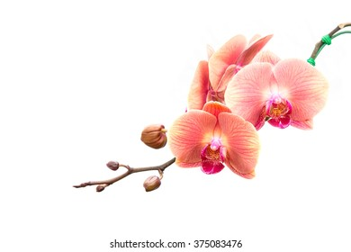 Close up pink orchid isolated on white background