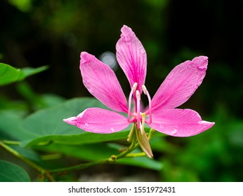 Close up Pink Orchid Tree flower (Scientific name Bauhinia purpurea) with blur background