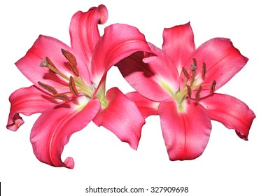 Close up of pink oriental lilies isolated on a white background