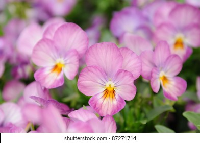 Close up of pink pansy