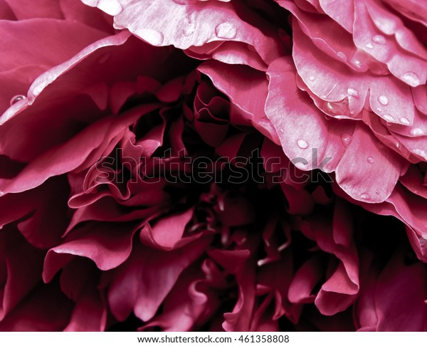 Close up pink peony