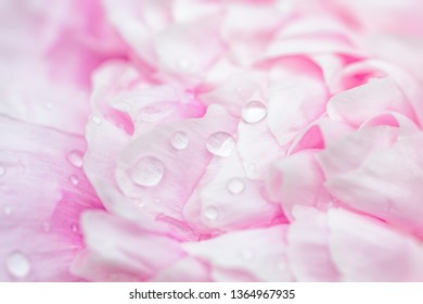 Close up of a pink peony flower.