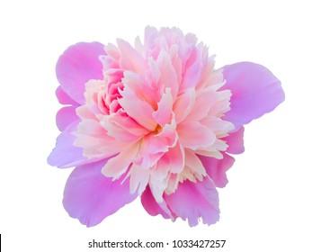 Close up of pink peony. Peony, Flower, Single Flower, Petal, Flower Head.
