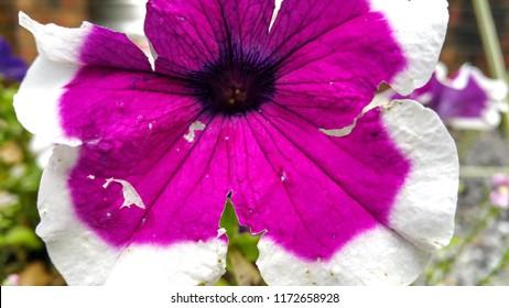 Close up of a Pink Petunia blossom