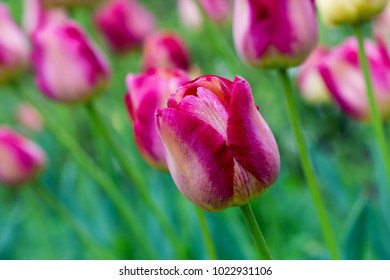 Close up of a pink purple tulip growing in a park or garden in spring.