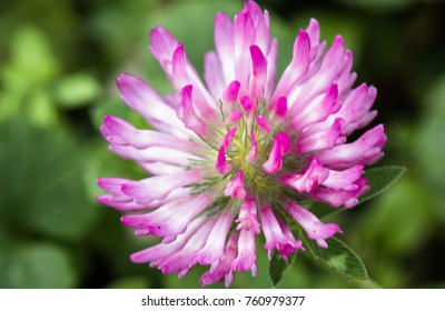 close up of pink red clover flower in green blurred background