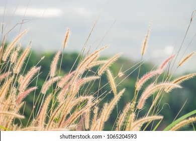 close up of pink reeds grass with green grass background. Autumn reeds grass background texture. landscape of reeds grass background.