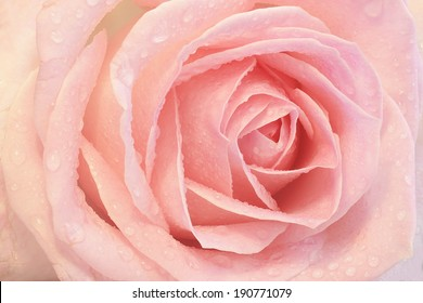 Close up of a pink rose with dew