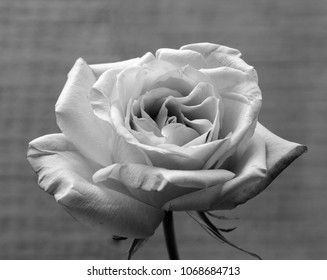 A close up of a pink Rose flowers in grey scale, selective focus.