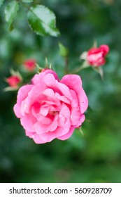 Close up of a pink rose in a garden
