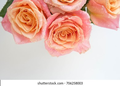 Close up Pink roses with drops on a white background
