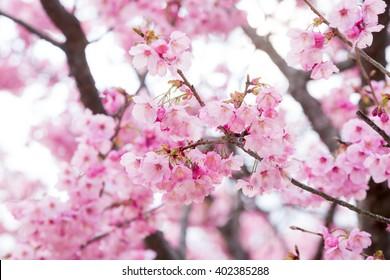 close up of pink sakura flower