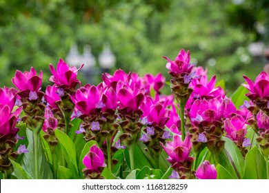 Close up of pink Siam Tulip with green leaf and green nature background. / Beautiful of Siam tulip flower or Krachai flower in the garden.