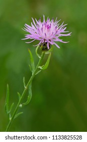 Close up of a pink Spotted Knapweed flower. Tommy Thompson Park, Toronto, Ontario, Canada.