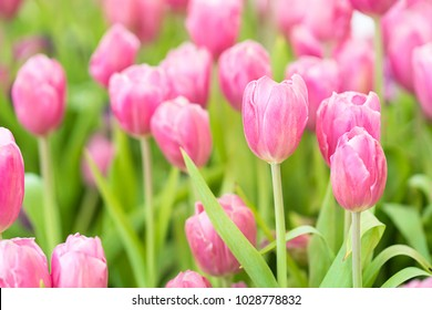 Close up pink tulips blooming in the flower garden