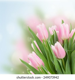 close up of  pink tulips  on blue sky background