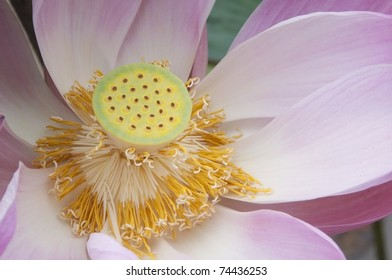 Close up pink water lilly flower