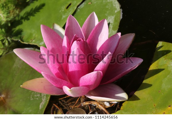 close-pink-water-lily-pond-600w-11142456