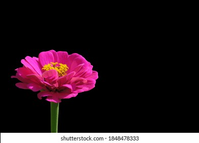 Close up of pink Zinnia. Pink Flower on green background. Zinnia is a genus of plants of the sunflower tribe within the daisy family.