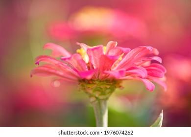 Close up of pink Zinnia flower Shallow DOF beauty banner