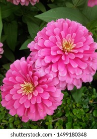 close up of pink zinnia flowers blooming in the garden