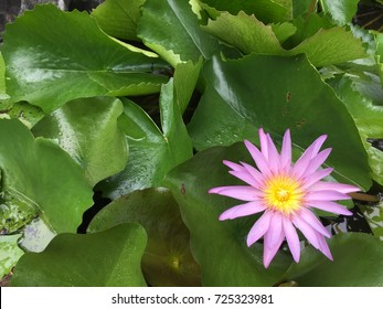 Close up of pink-purple waterlily in the right bottom corner with green leaves in the background