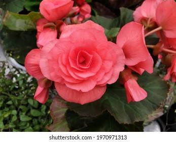 Close up pinkrose in the garden