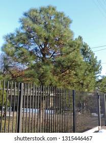 Close up of Pinus strobus, commonly denominated the eastern white, northern white pine, white pine, Weymouth pine (British), and soft pine. Poland, Europe