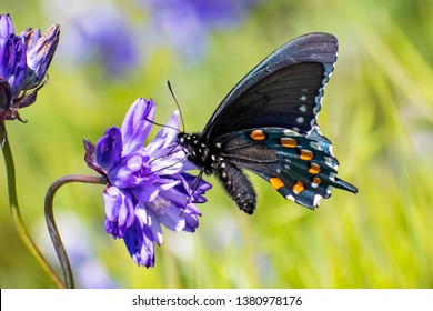 Close up of Pipevine swallowtail (Battus philenor) drinking nectar from a Blue Dick (Dichelostemma capitatum) wildflower, North Table Mountain Ecological Reserve, Oroville, California