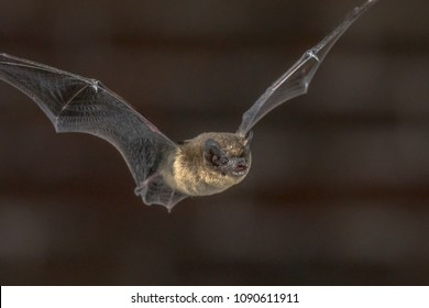 Close up of Pipistrelle bat (Pipistrellus pipistrellus) flying on attic of church in darkness