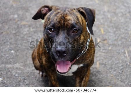 Close up pitbull dog wallpaper background