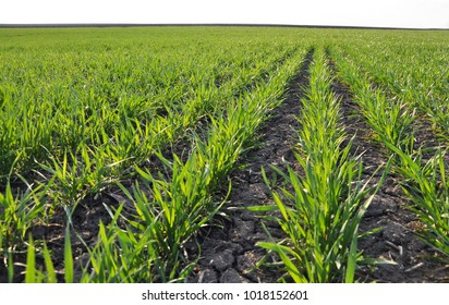 With close pitch spring wheat in good condition