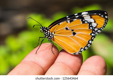Close up of the Plain Tiger butterfly perching on fingers of human hand
