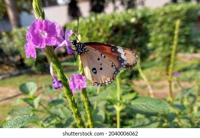Close up of Plain Tiger (Danaus chrysippus) butterfly visiting flower in nature. A beautiful Plain Tiger butterfly. Nature's artwork in the form of a plain tiger butterfly. Image