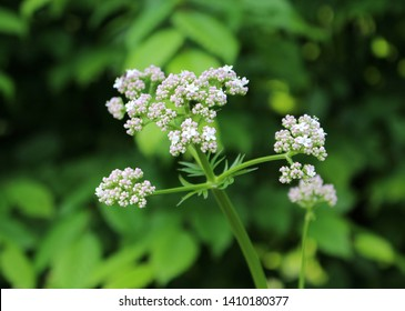 Close up  plant  Valerian, Valeriana officinalis, Caprifoliaceae.It is a perennial flowering plant .Crude extract of valerian root may have sedative and anxiolytic effects.