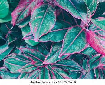 close up plants or cordyline fruticosa leaves texture, colorful leaf (dark green and red)