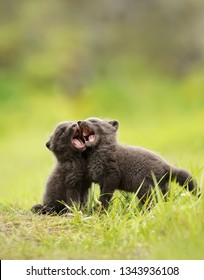 Close up of playful Arctic fox (Vulpes lagopus) cubs in summer, Iceland.