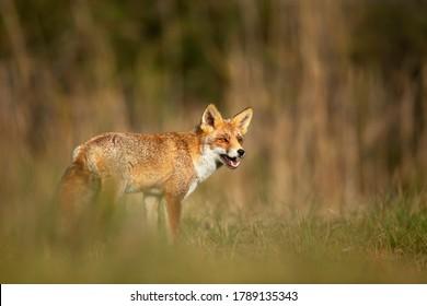 Gros plan sur un renard Rouge (Vulpes vulpes) jouant dans le champ d'herbe.