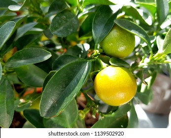 Close up Plenty of Small Lemon Trees with Yellow and Green Fruits Growing on Yellow Pots.