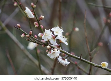 Close up plum blossom in Kyushu japan