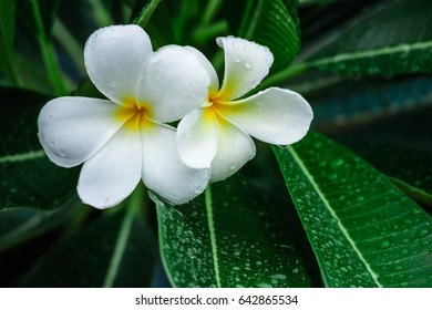 Close up of the plumeria flower