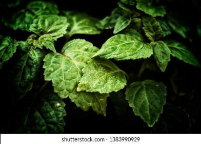 Close up of Pogostemon cablin patchouli plant leaves in morning light with deep shadows, stylized and desaturated. Member of the mint/ deadnettle family. Used in aromatherapy, perfume, and incense.