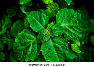 Close up of Pogostemon cablin patchouli plant leaves from abovewith deep shadows. Member of the mint/ deadnettle family. Used in aromatherapy, perfume, and incense.